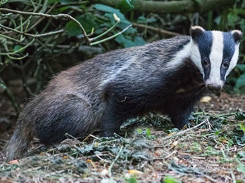 badger-looking-slide.jpg